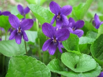 vijolica