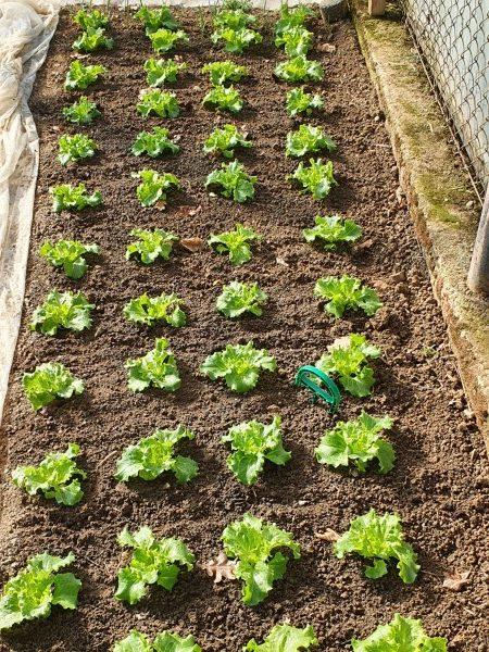 saditev solate 3