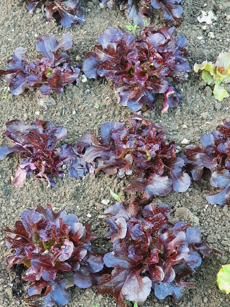 rdec hrastrov list